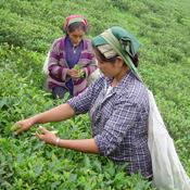 Putharjhora Tea Garden